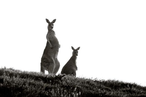 I think the Kangaroos were looking at Barry put on a 300mm lens on his camera.