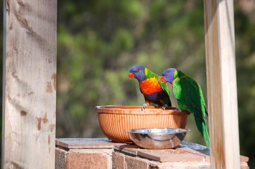 Rainbow Loriketts drinking water...